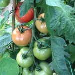 Tomato Bounty | Acupuncture | Zero Balancing | Cambridge | Tree of Life Therapy | Rosanna Price