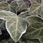 Frost on Ivy | Acupuncture | Zero Balancing | Cambridge | Tree of Life Therapy | Rosanna Price