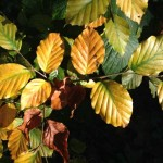 Autumn Leaves | Being In The Now | Acupuncture | Zero Balancing | Cambridge | Tree of Life Therapy | Rosanna Price