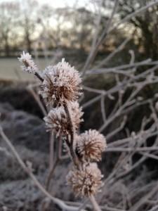 Iced seedheads