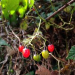 Berries | Acupuncture | Zero Balancing | Cambridge | Tree of Life Therapy | Rosanna Price