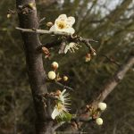 Blackthorn Spring