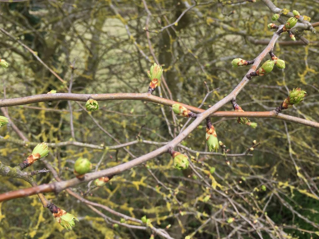 Blackthorn | Spring | Cambridge | Acupuncturist | Coronavirus | Covid-19 3