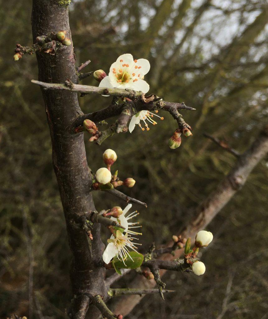 Blackthorn | Spring | Cambridge | Acupuncturist | Coronavirus | Covid-19